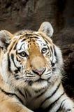 Tiger Stockfoto
