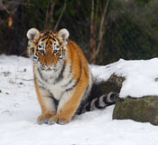 Tiger. The baby tiger is sit on the snow royalty free stock images