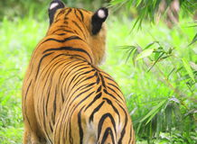 Tiger. Is in the meadow and tried to cature the danger animal from an unusal angle Stock Images
