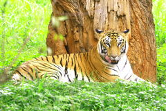 Tiger. Is licking the lips in the meadow Stock Images
