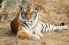 Tiger. Lying on the ground with hay, staring with you royalty free stock photo