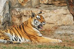 Tiger. Rest in a stone beside Royalty Free Stock Photography