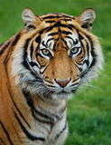 Tiger. A sumatran tiger in a green background Royalty Free Stock Images