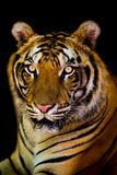Tiger Royaltyfri Foto