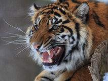 Tiger. The tiger is roaring looks so angry stock images