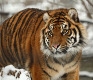 Tiger. This tiger is thinking about something royalty free stock image