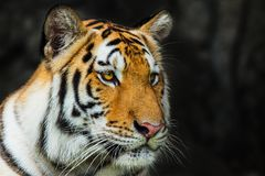 Tiger, Stockbild