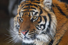 Tiger. This tiger is staring at something looks formidable stock photography