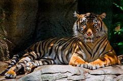 Tiger. Resting in the shade Royalty Free Stock Photo