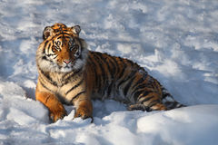 Tiger. The tiger is sit on snow stock images