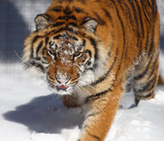Tiger. This tiger is walking on the snow looks so angry Stock Photo
