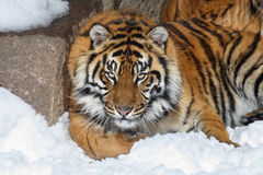 Tiger. This tiger is staring at me on snow Stock Photography