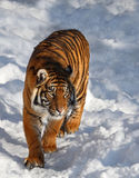 Tiger. This tiger is walking on snow Stock Images