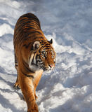 Tiger. This tiger is walking on snow Stock Photo