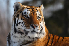 Tiger. This tiger is looking at somewhere royalty free stock photo