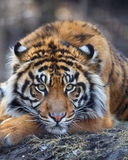 Tiger. This tiger is taking his rest on hay looks so bored Stock Photos