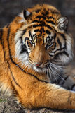 Tiger Stock Photo