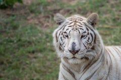Tiger Royaltyfri Foto