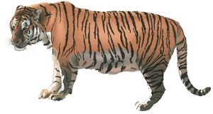 Tiger 5 Royalty Free Stock Images