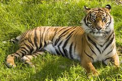 Tiger. In the grass royalty free stock image