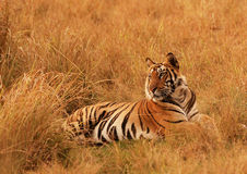 Tiger. In a cool morning , this tiger is basking in the grassland of Bandhavgadh National park Royalty Free Stock Images