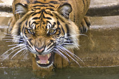 Tiger. Young Sumatran tiger captured while angry Stock Images