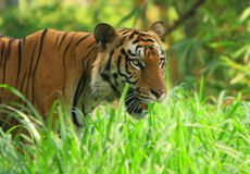 Tiger. Is in the meadow Stock Photography