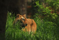Tiger. Is in the meadow Stock Images
