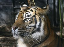 Tiger. Portrait Royalty Free Stock Photo