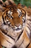 Tiger. The tiger is focus at the something royalty free stock images