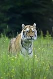Tiger Royalty Free Stock Image