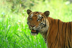 Tiger. Is in the meadow Royalty Free Stock Photography