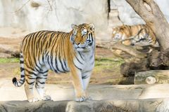 Tiger. Beautiful Bengal tiger standing on a rock Royalty Free Stock Photos