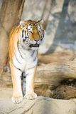 Tiger. Beautiful Bengal tiger standing on a rock Royalty Free Stock Photo