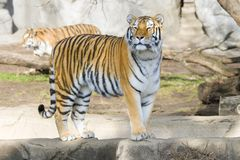 Tiger. Beautiful Bengal tiger standing on a rock Stock Image