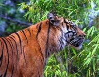 Tiger. Wild Sumatran tiger in the jungle Stock Photo