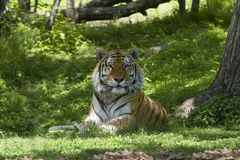 Tiger. Sitting on grass beside tree trunk stock photography