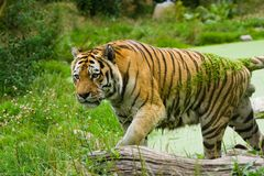Tiger. On the water in a summer day Royalty Free Stock Photography