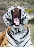 Tiger. The tiger with canines yawns Stock Photos