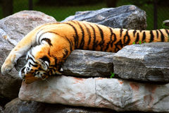Tiger. A playful tiger laying on it's back on a group of rocks with one paw dangling over the edge Royalty Free Stock Photo