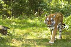 Tiger. A ferocious tiger on the prowl in a natural setting Stock Photo