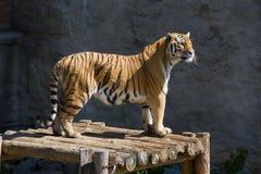 Free Tiger Stock Photo - 6183680
