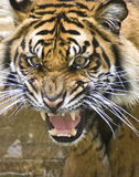 Tiger. Young Sumatran tiger captured in an agitated state stock photo