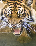 Tiger. Young Sumatran tiger captured in an angry state royalty free stock photography