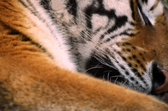 Tiger. Sleeping at the Zoo stock image