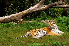 Tiger. (lat. panthera tigris) lying on grass royalty free stock photo