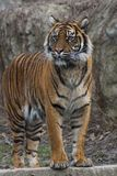 Tiger. (Panthera tigris sumatrae) in Zoo stock image