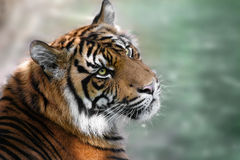 Tiger. Photo of tiger looking up with green background Royalty Free Stock Photography