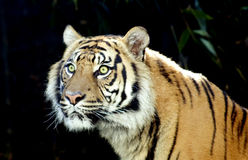 Tiger. Male tiger with striking green eyes Royalty Free Stock Photos