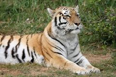 Tiger. Majestic striped tiger lying on the grass royalty free stock photo